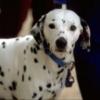 ダルメシアン子犬情報