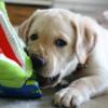 ラブラドールレトリーバー子犬情報