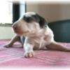 ボルゾイ子犬情報