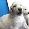 スタンダードプードル子犬情報