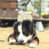 バーニーズ子犬
