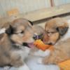 ラフコリー子犬情報(オス1頭のみ)