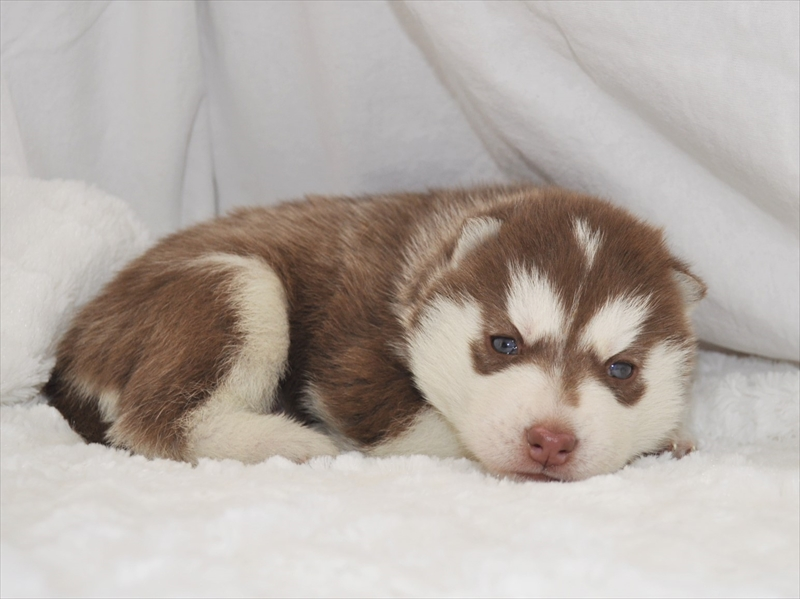 子犬 シベリアン ハスキー シベリアンハスキーの子犬一覧|ペットショップCoo&RIKU