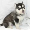 シベリアンハスキー子犬情報(全国版)